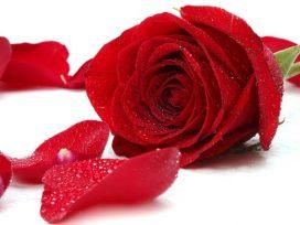 bài thơ về hoa hồng